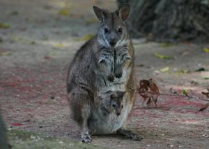 Parma Wallaby Happy Hollow Park Zoo